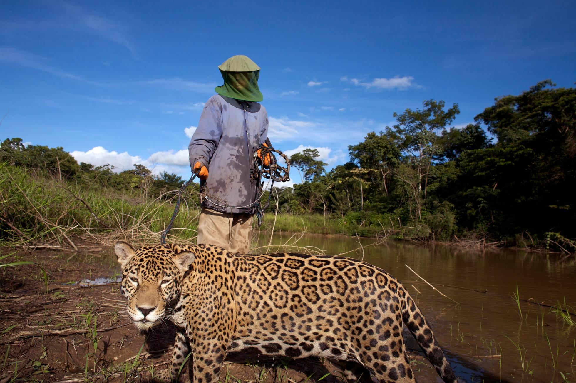 Resultado de imagen para traficantes de colmillos jaguar